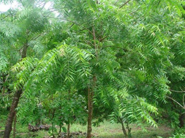 Neem - Indian Scriptures