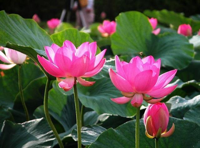 Lotus indian scriptures buddhism lotus flower is a symbol of eternity plenty and prosperity according to buddhist scriptures it is said that the buddha had a symbol of lotus on mightylinksfo